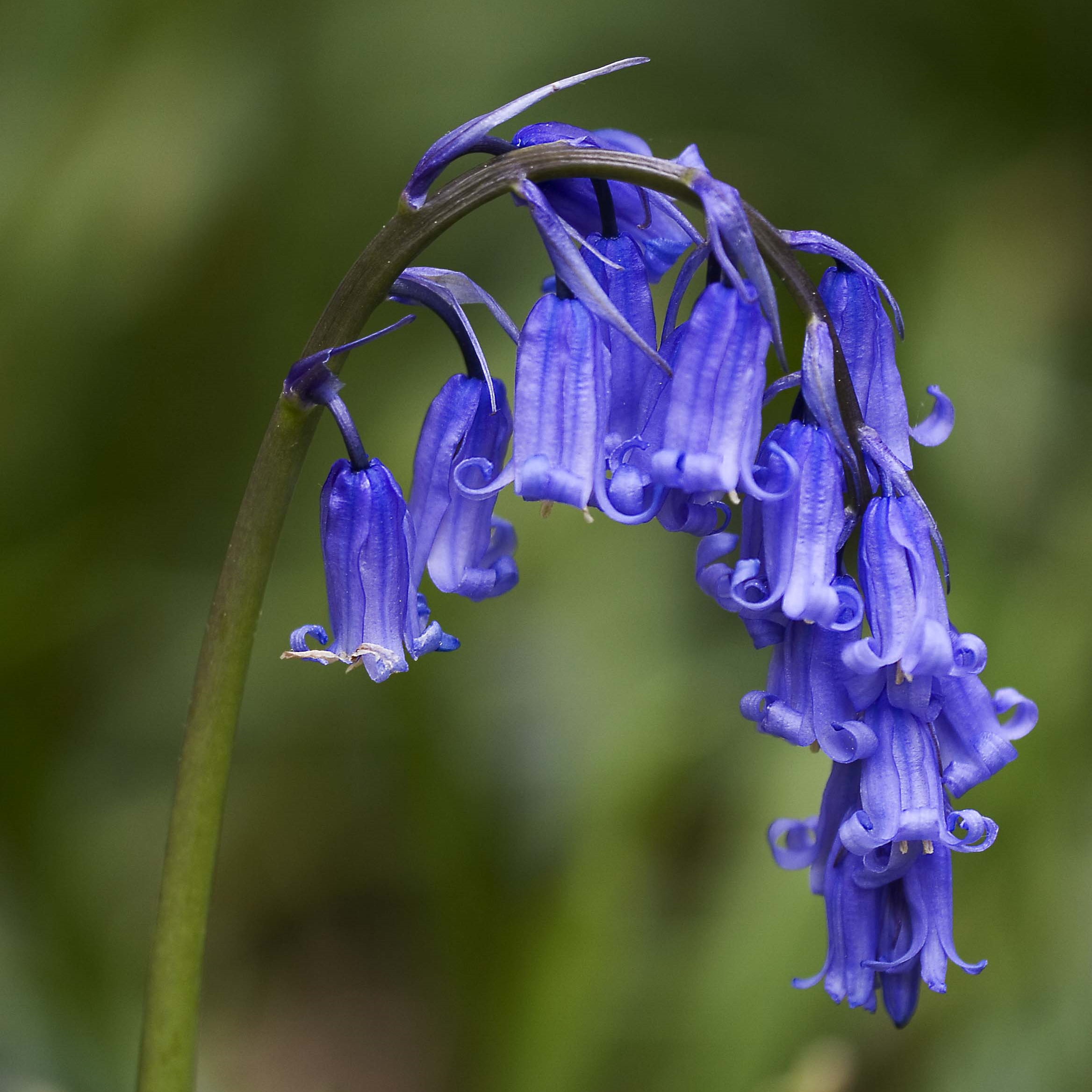 Bemerton Folly Hyacinthoides non scripta Common Bluebell
